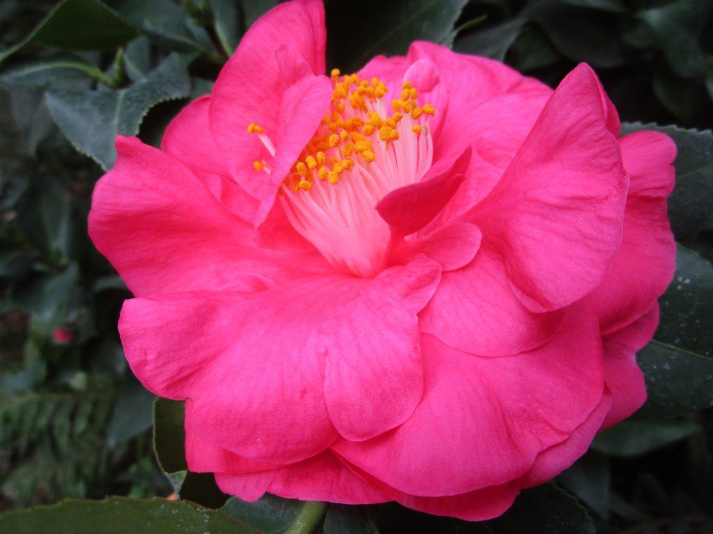 Ботанический сад Твери рассказал историю японских камелий