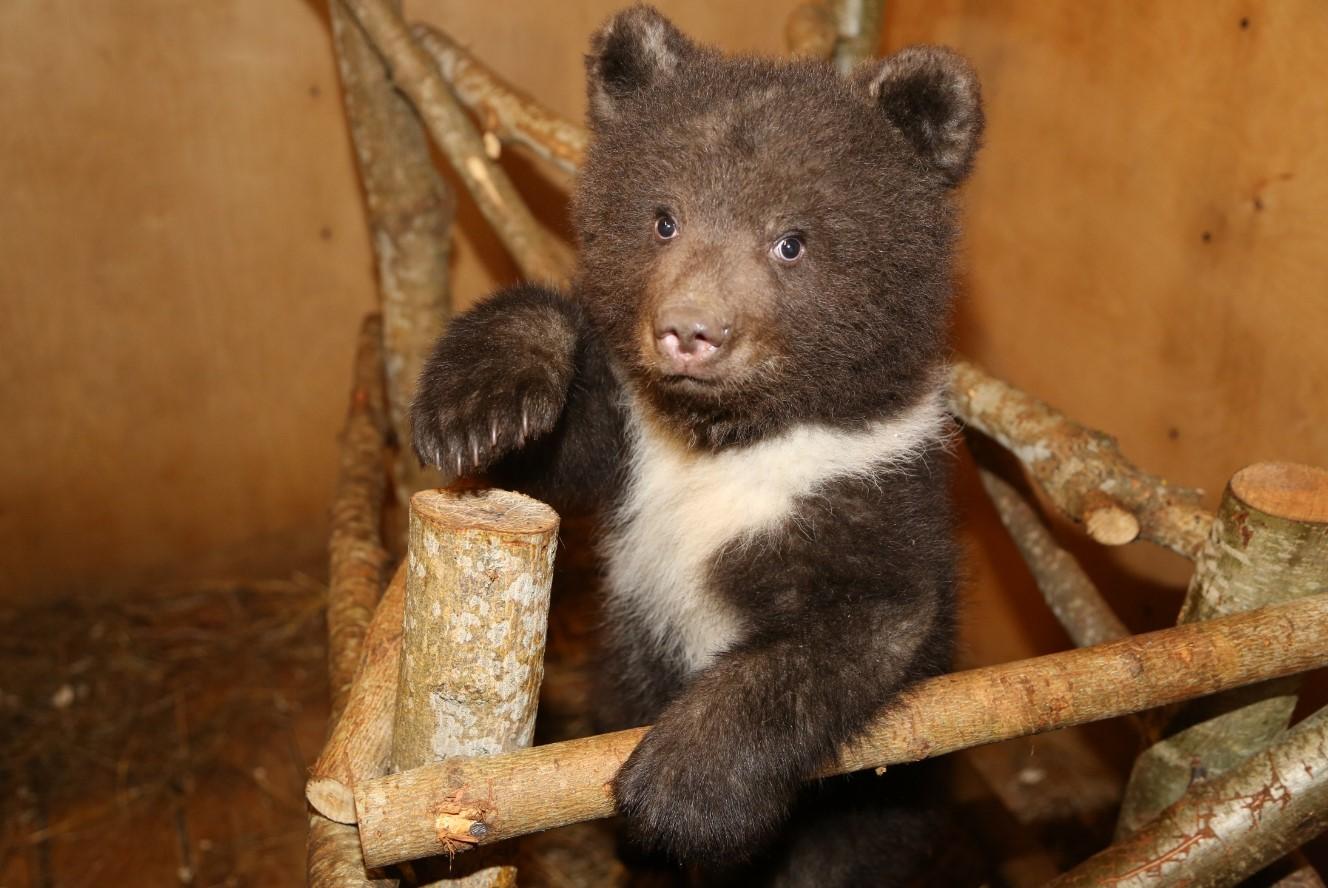 Центр спасения медвежат-сирот отмечает два года работы в Тверской области