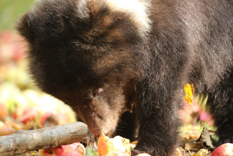 Медвежата-сироты съели более 12 тонн яблок