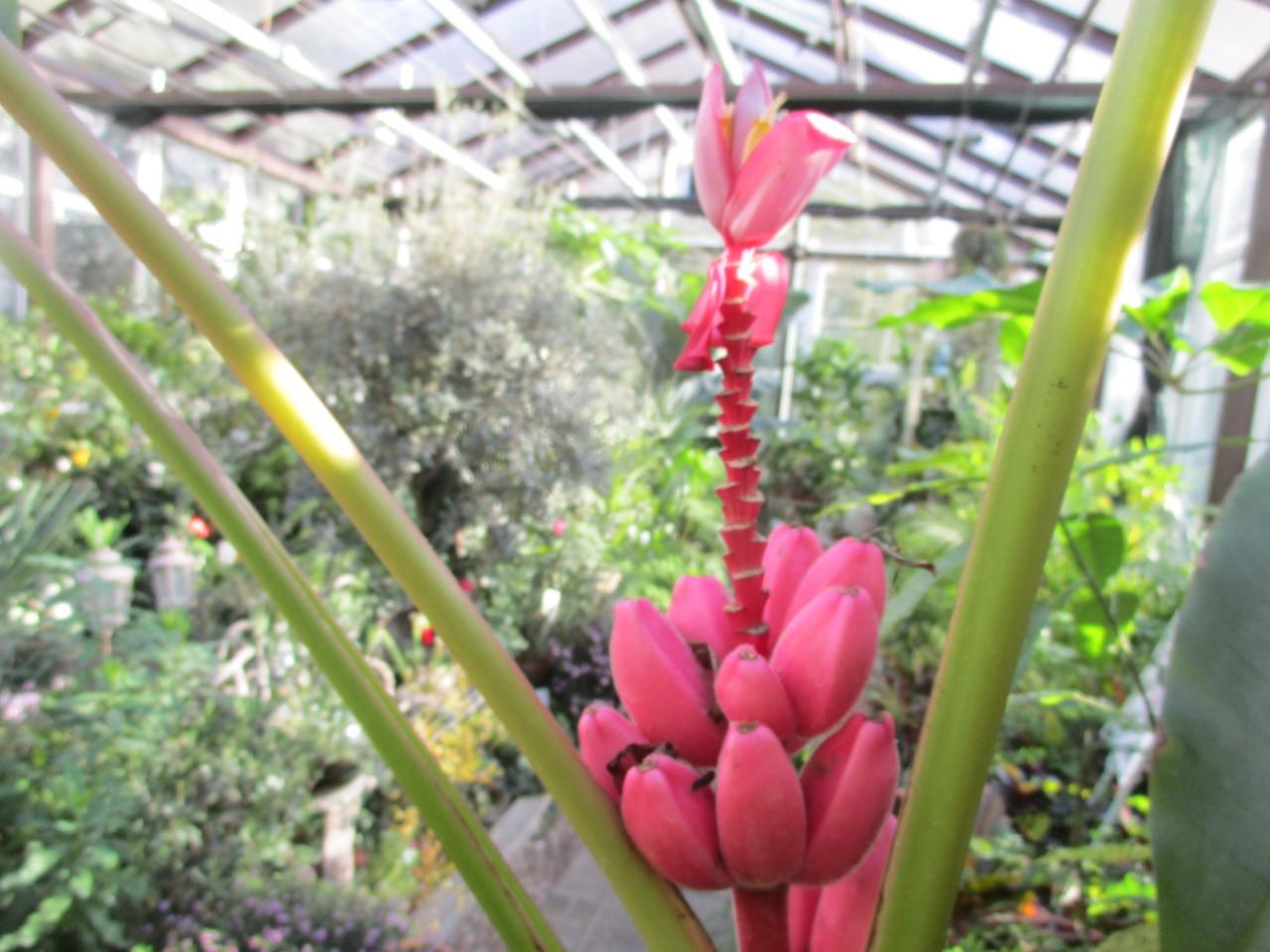 В тренде: в Ботаническом саду ТвГУ поспевают «гламурные» розовые бананы