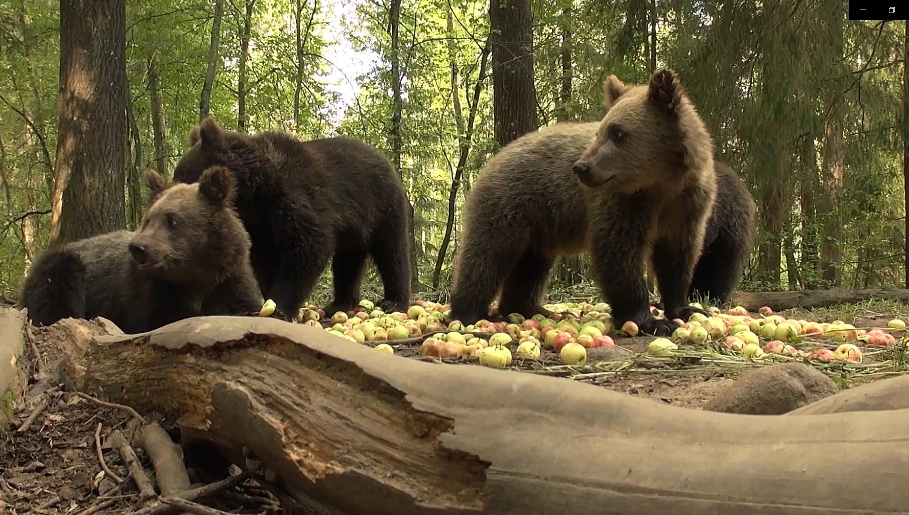 Тонна яблок на пять дней: что едят медвежата Тверской области