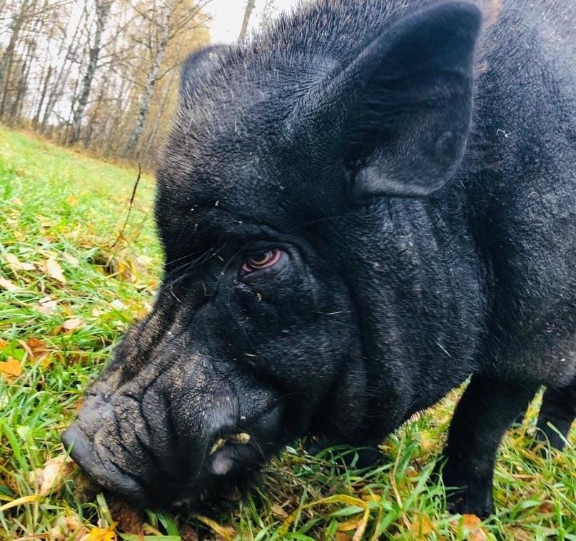 Тверские активисты нашли брошенной домашней свинье новый дом