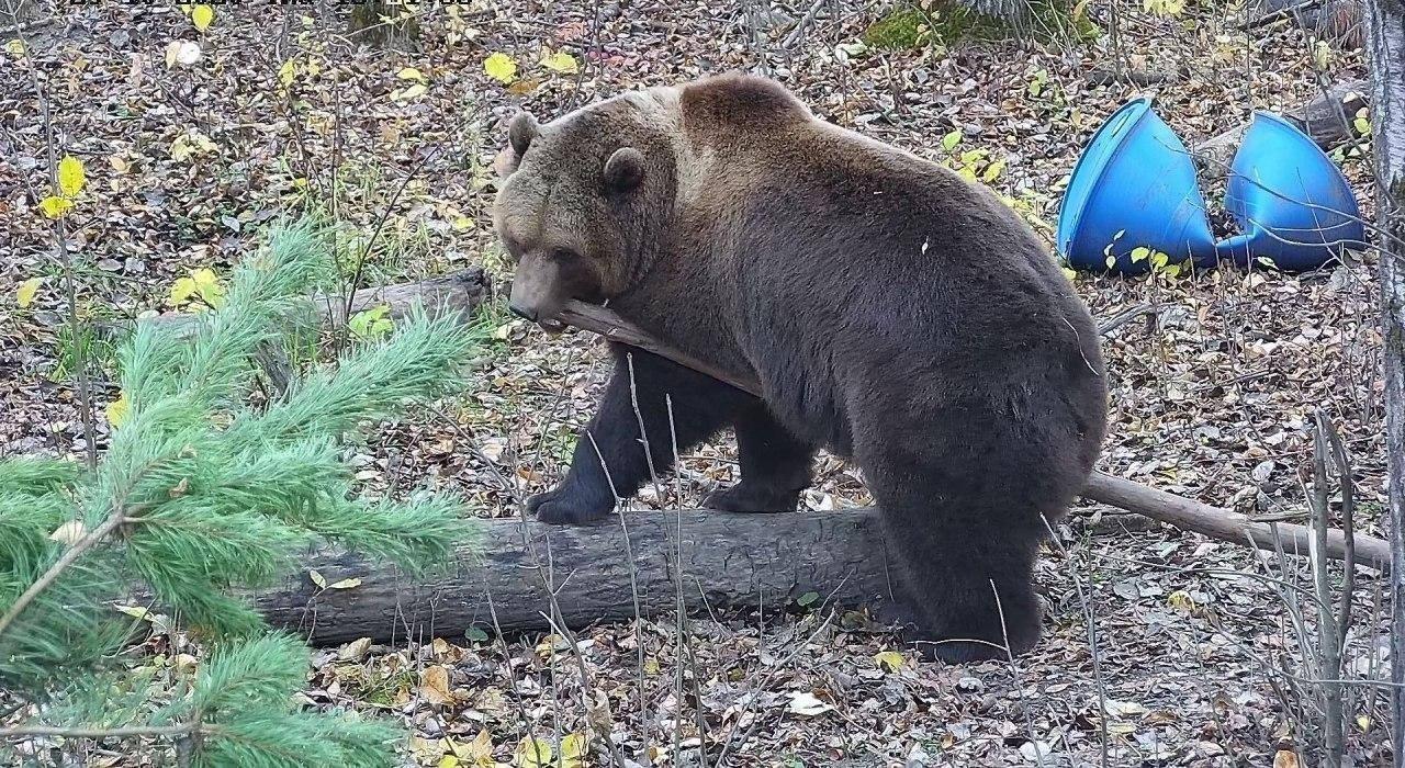 Авиамедведь  Мансур из Тверской области занимается фитнесом
