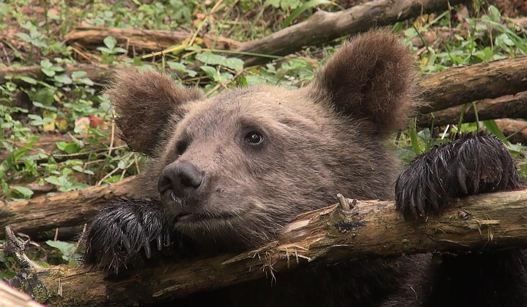 Тверские медвежата резвятся у любимого дерева на камеру