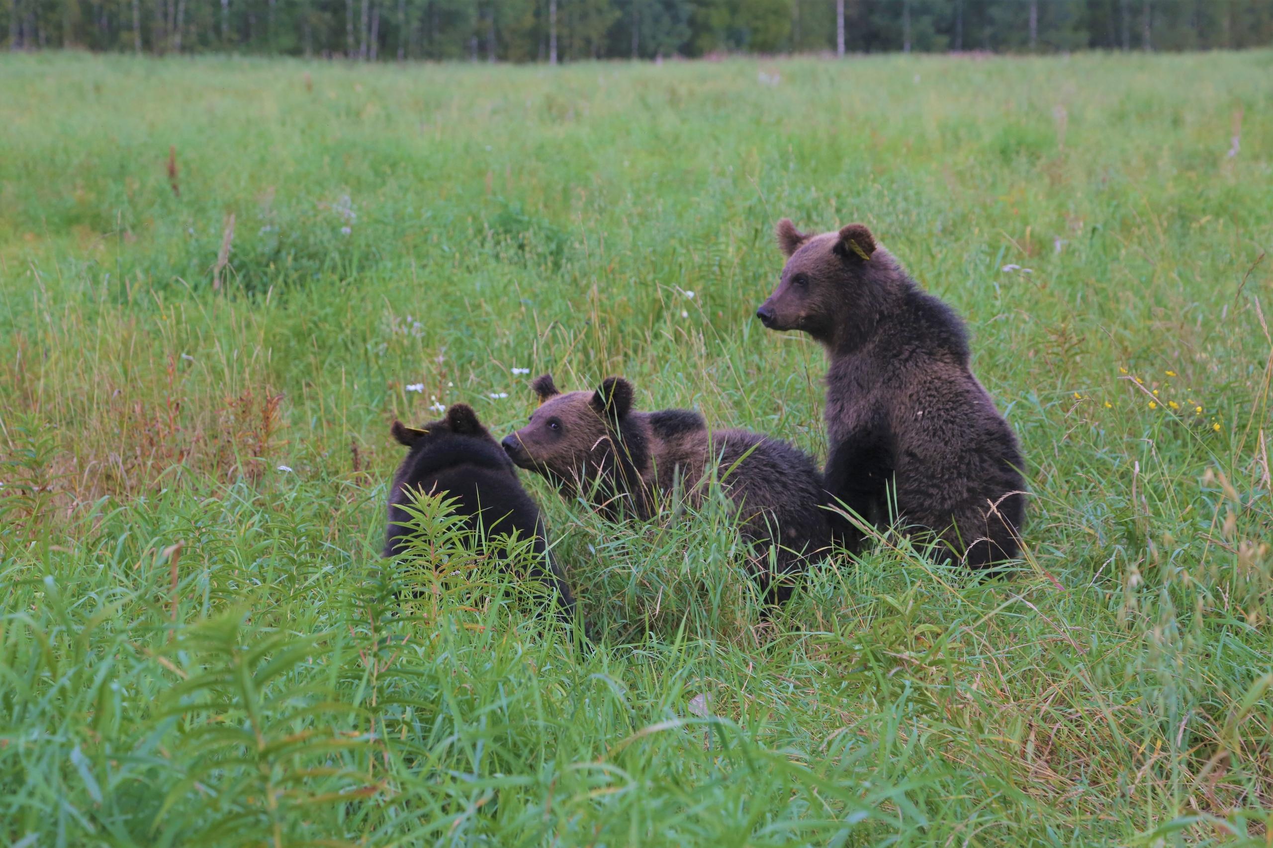 Новую партию медвежат из Тверской области выпустили в родные леса