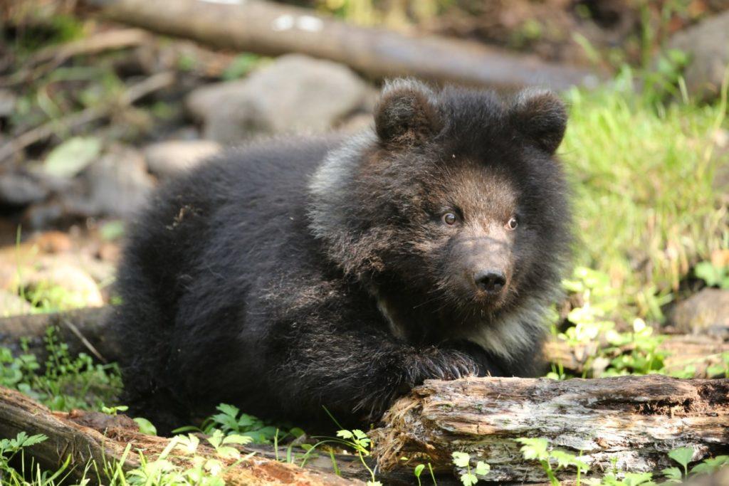 Медвежата-сироты из Тверской области готовятся к зимней спячке