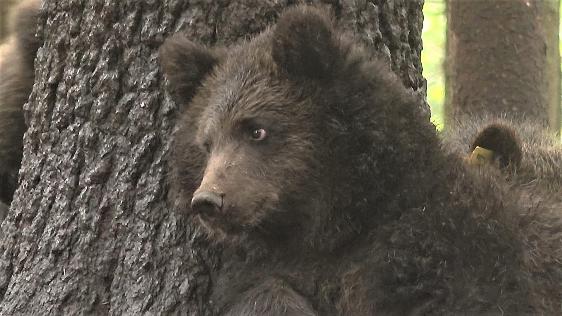 Тверские медвежата готовятся к самостоятельной жизни