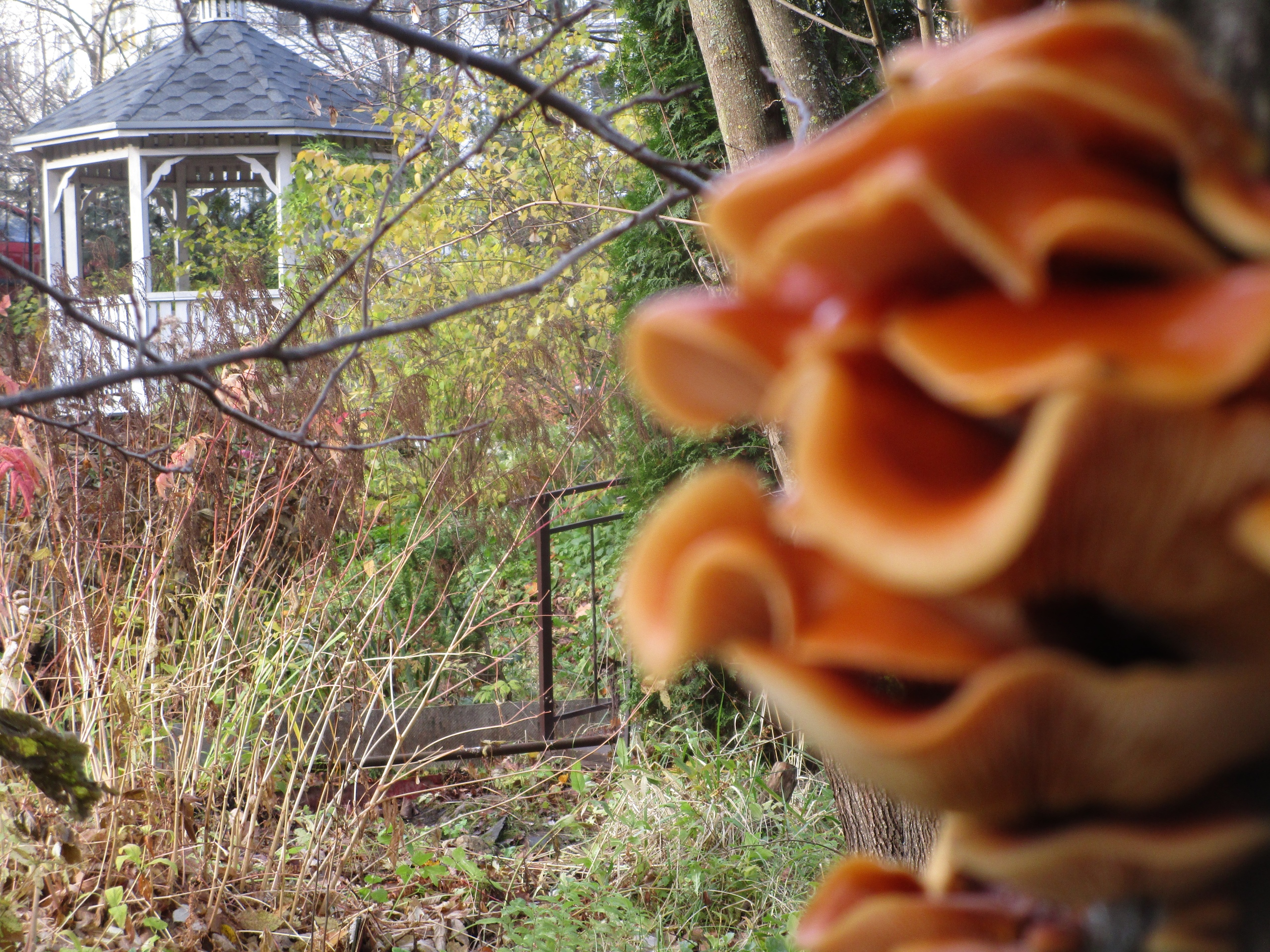В Ботаническом саду Твери  растут зимние опята