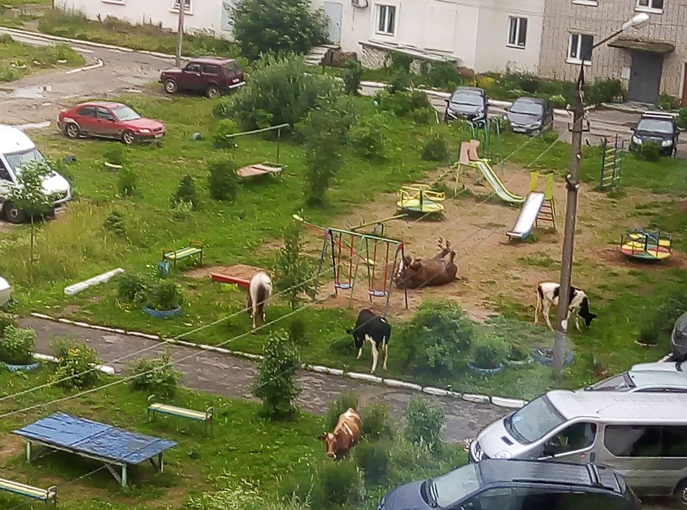 Конь валялся на детской площадке в компании коров в Тверской области