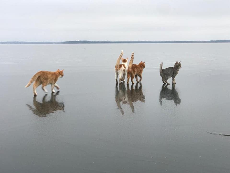 Котики, гуляющие по льду озера в Тверской области, привели в восторг пользователей соцсетей