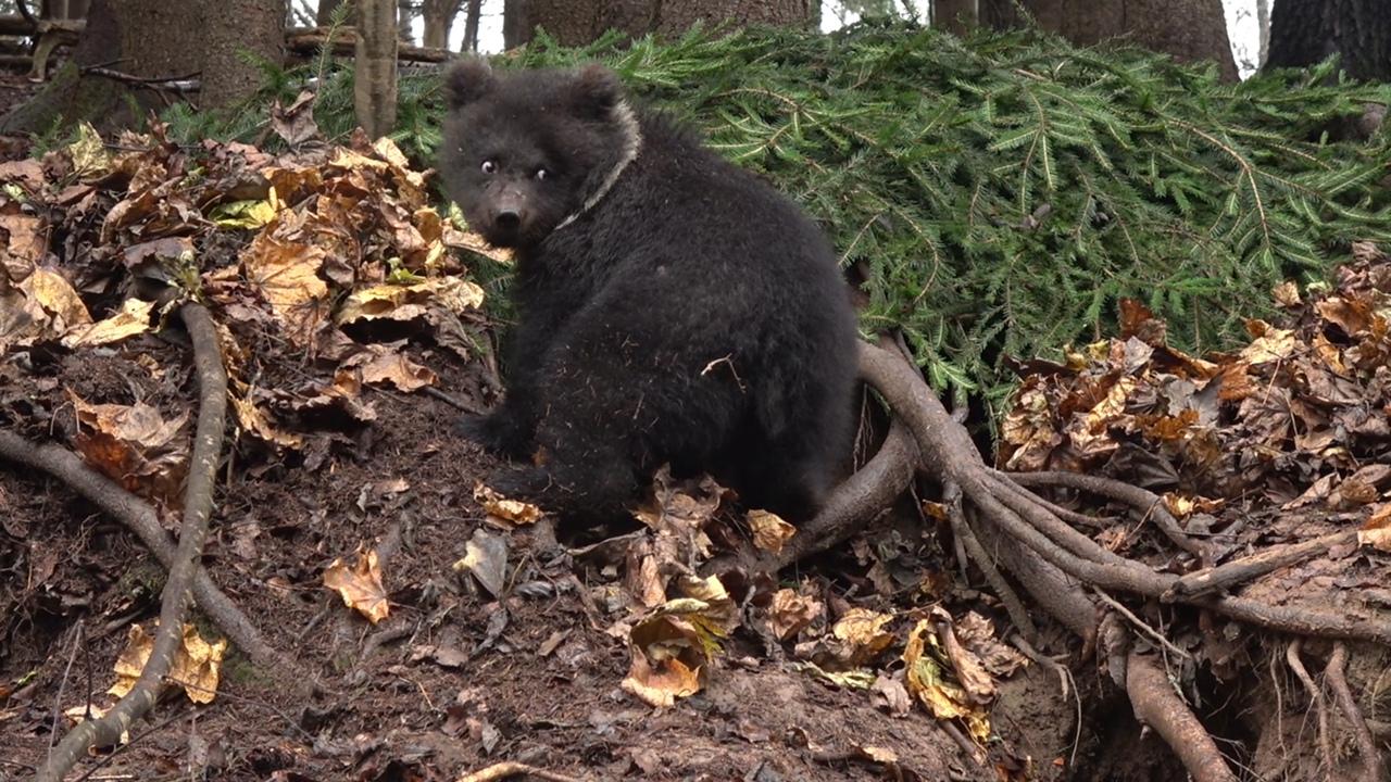 Пужина берлога или как медведица из Тверской области дом строила