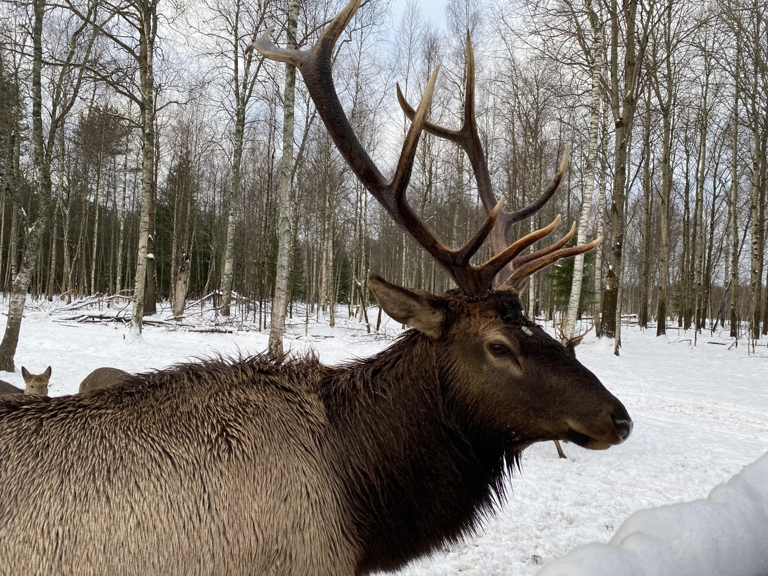 Страна оленья: как в Тверской области живет необычный заповедник