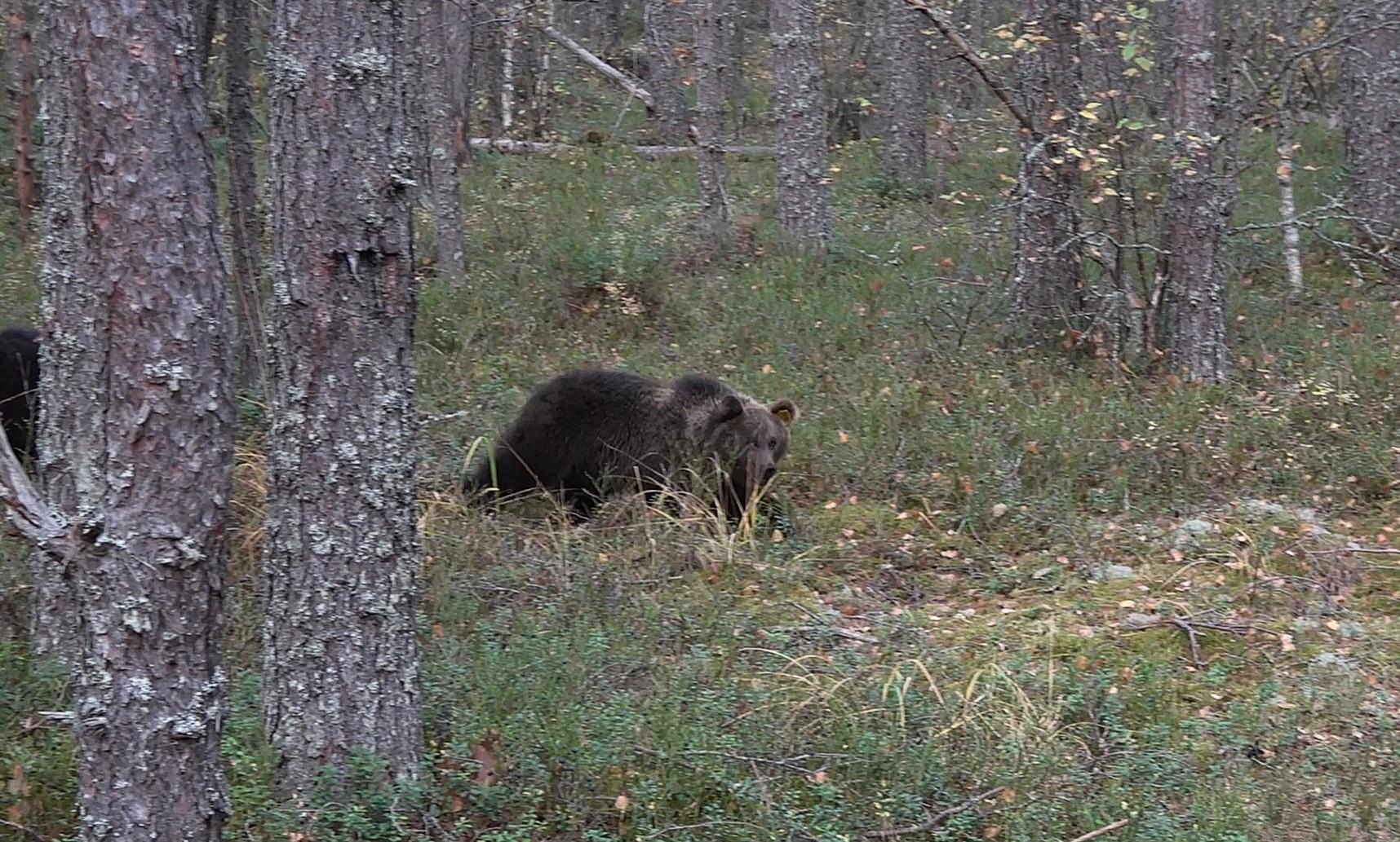 Тверских медвежат-сирот выпускают на свободу