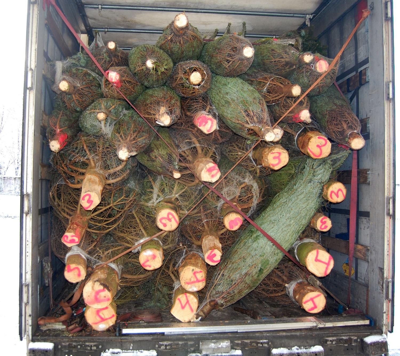 На елочных базарах в Твери можно будет купить пихты из Дании