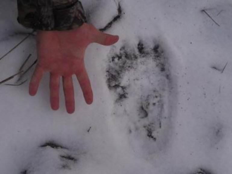 В Тверской области бродит медведь-шатун, которому не спится