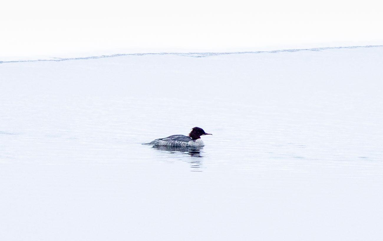 В Тверскую область заплыла редкая взъерошенная утка
