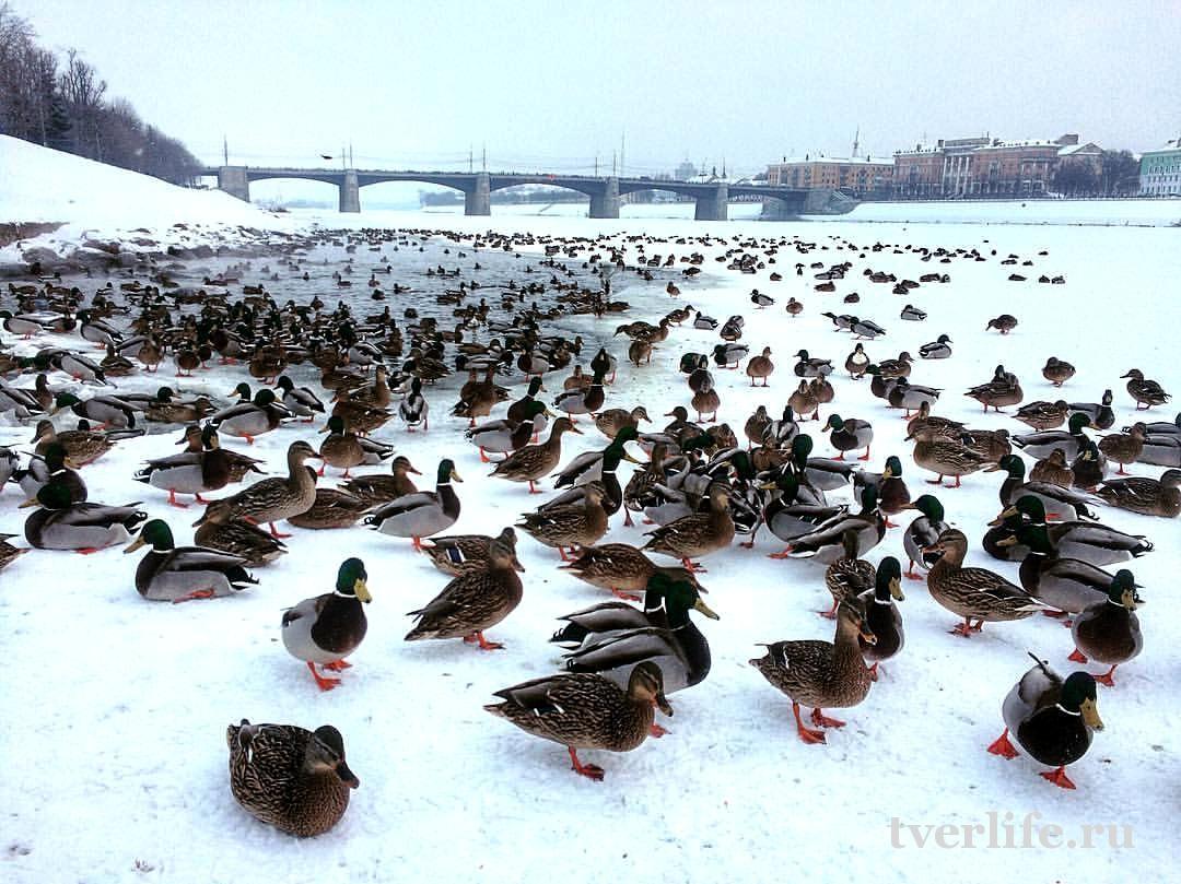 В Тверской области предлагают по зиме посчитать уточек