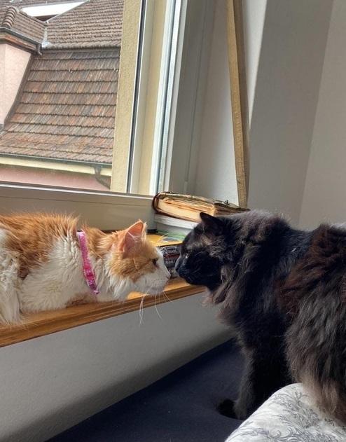 Тверские коты эмигрировали на ПМЖ в Европу