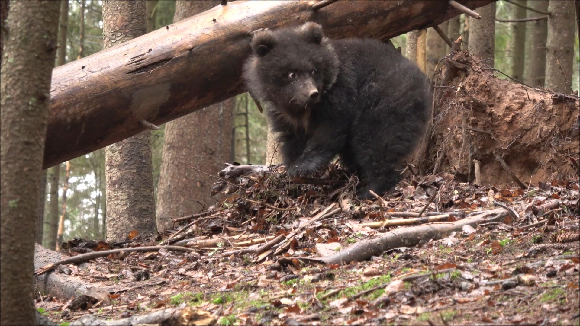 Маленькая медведица Пужа впала в спячку в Тверской области