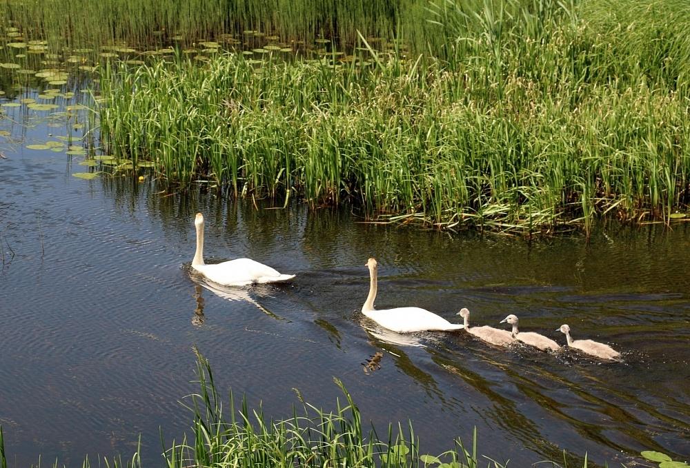 В Тверской области опубликовали новое видео знаменитых торопецких лебедей
