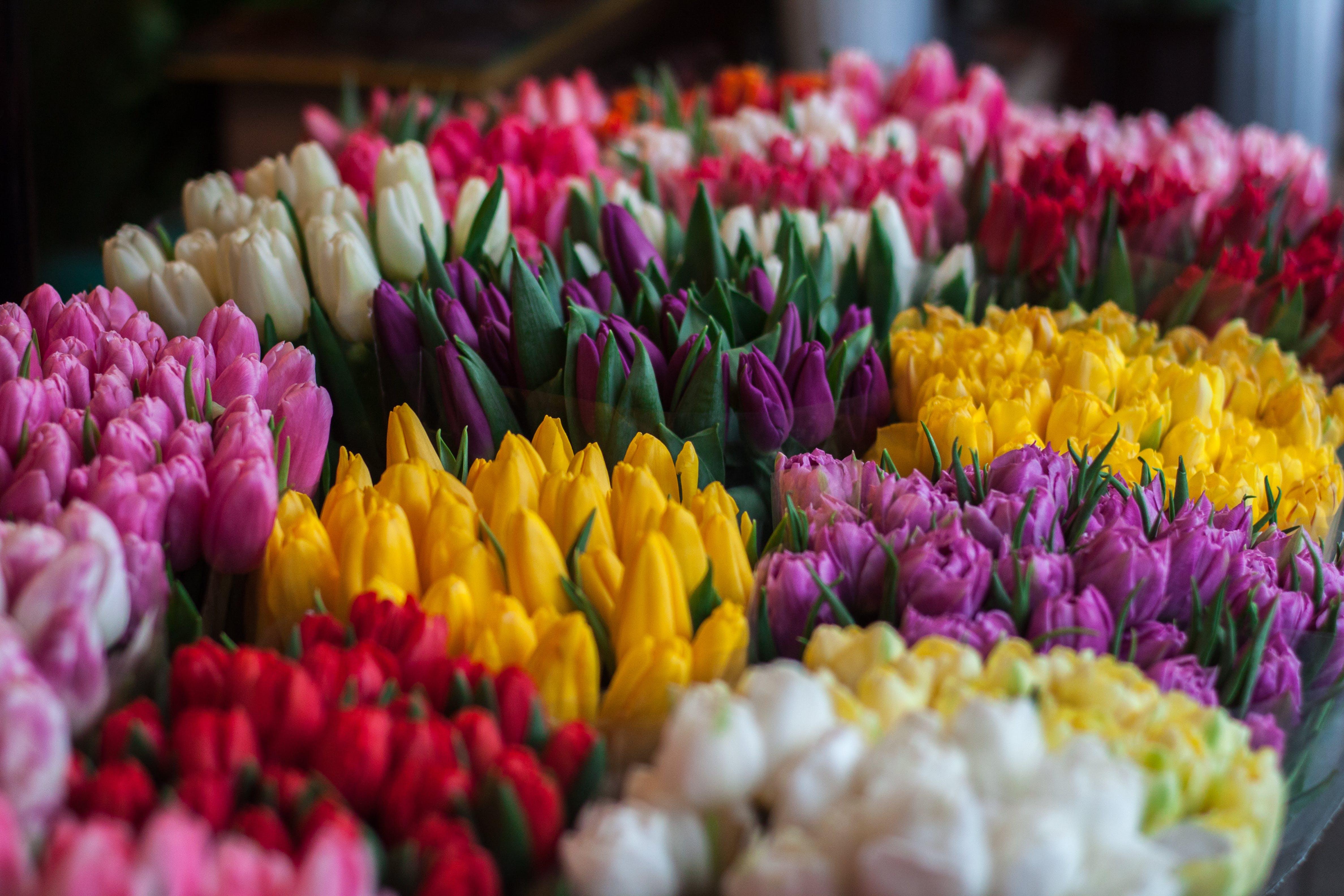 Тысячи тюльпанов расцвели для жителей Твери