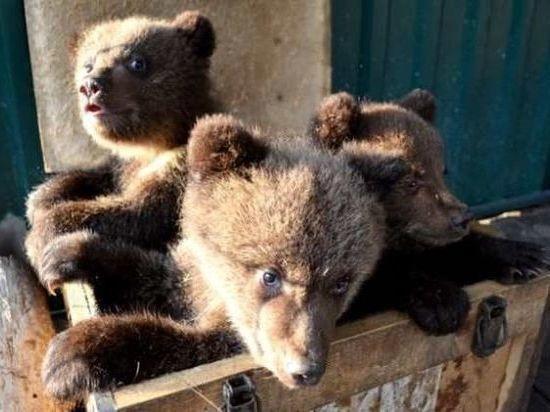 Три медвежонка будут жить в центре спасения в Тверской области