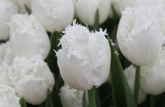 Перед 8 марта на улицах Твери будут продавать живые цветы