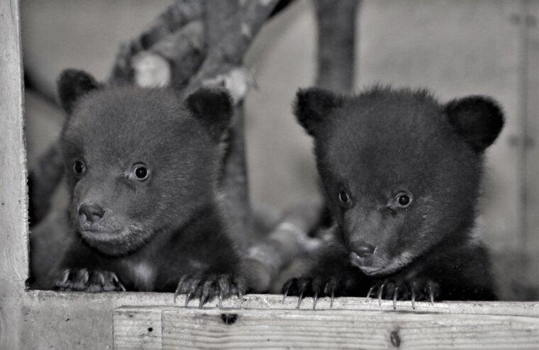Центр спасения медвежат-сирот показал новых жителей из Карелии