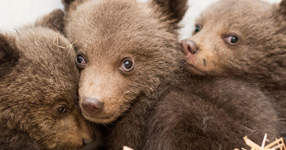 В Центре спасения медвежат-сирот в Тверской области пополнение