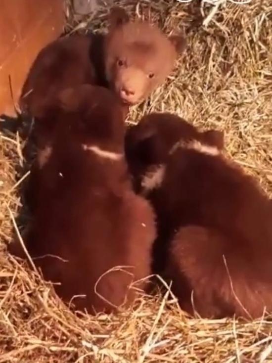В Тверскую область привезут трех медвежат-сирот из Карелии