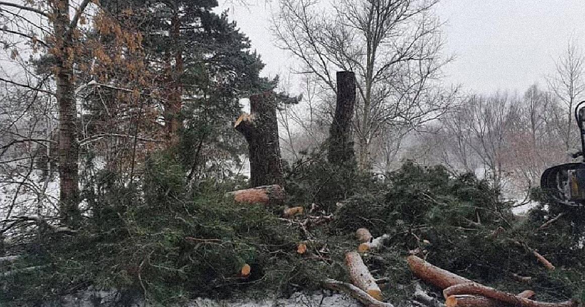Общественность Тверской области назвала вандализмом загубленные сосны в посёлке Новозавидовский