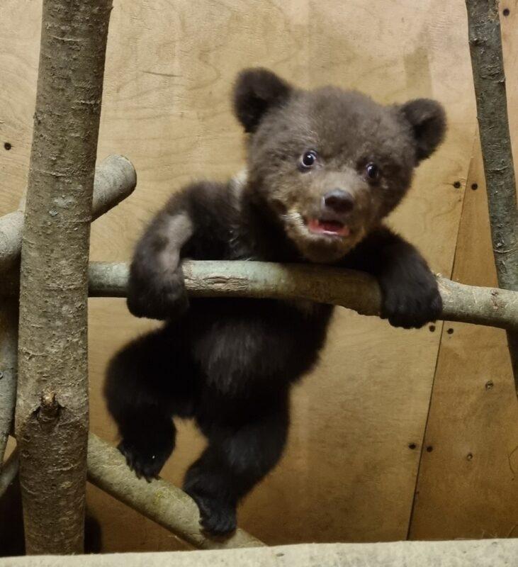 Тверские биологи помогают карельским медвежатам пойти на поправку