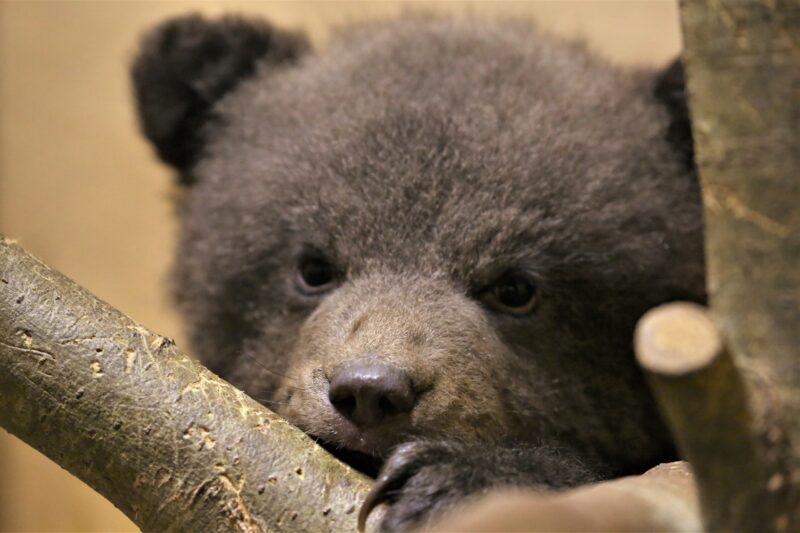 Из Костромской в Тверскую прибыла троица медвежат
