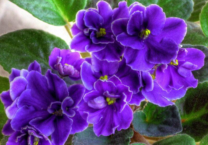 В Ботаническом саду ТвГУ расскажут тонкости выращивания фиалок