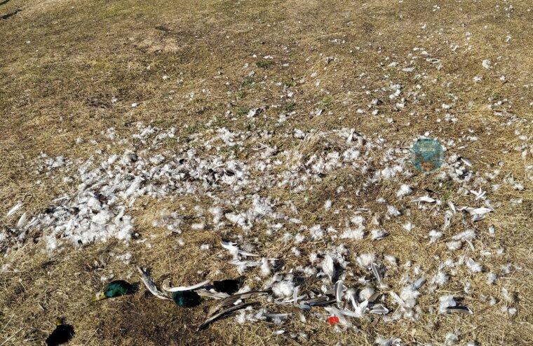 В Тверской области неизвестные жестоко убили стаю уток