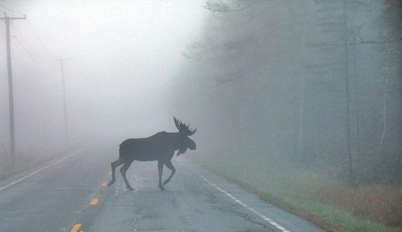 В Тверской области иномарка сбила лося