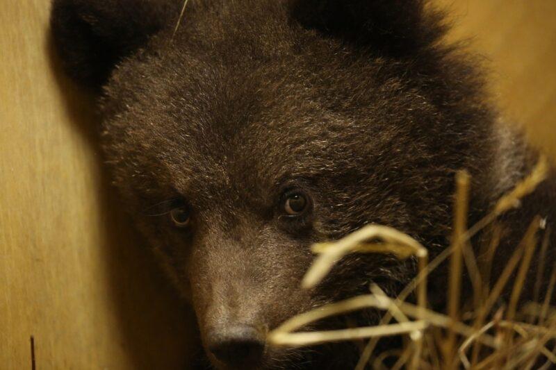 В Центре спасения медвежат сирот появился новый маленький житель