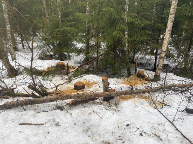Житель Тверской области незаконно спилил 44 дерева