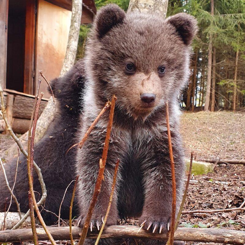 """Центр спасения медвежат-сирот борется за """"Хрустальный компас"""""""