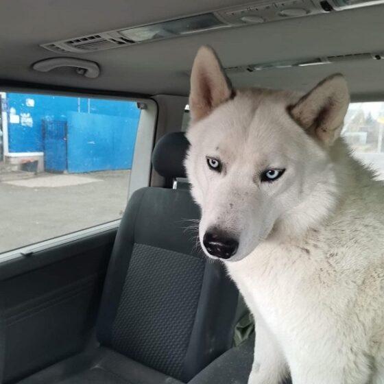 Блудный пёс-пассажир тверских автобусов оказался гражданином города Чехова