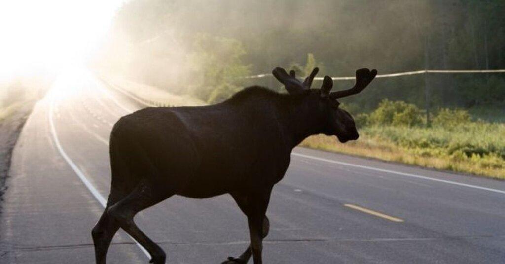 В Тверской области ВАЗ сбил лося