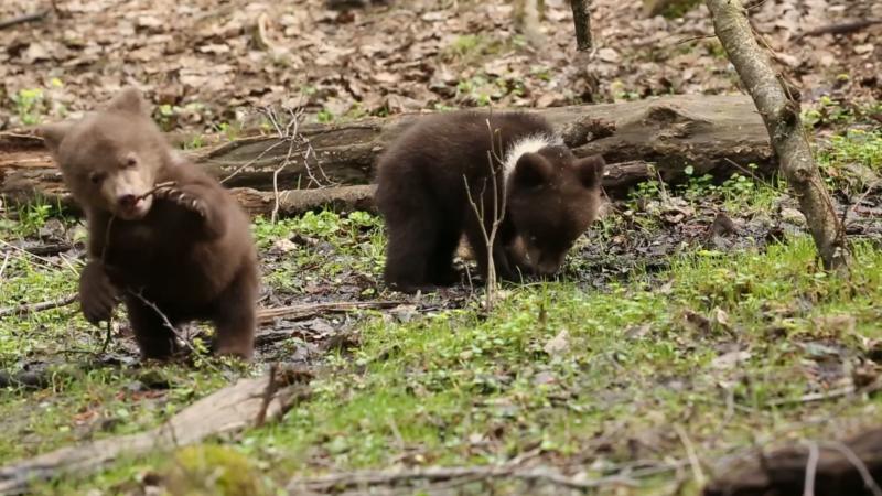 Подопечные Центра спасения медвежат-сирот изучают лес