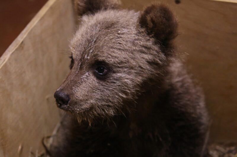 В Центре спасения медвежат-сирот появилась новая жительница
