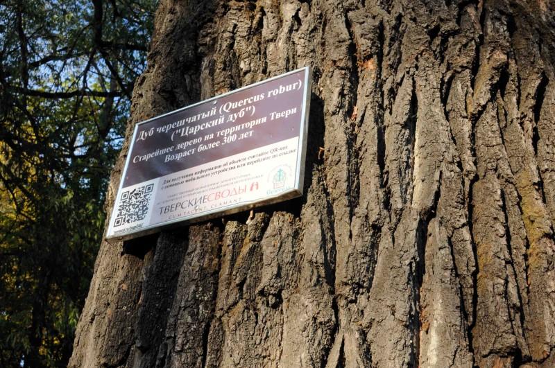 В конкурсе «Российское дерево года» Тверскую область представит старейший в Твери дуб