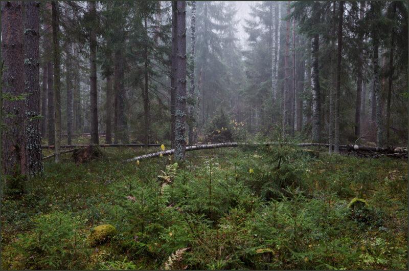 Тверскую область вновь ждёт увеличение лесного фонда