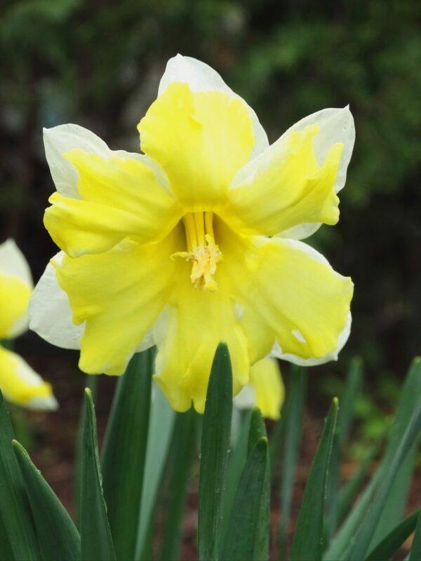 В Ботаническом саду ТвГУ цветут нарциссы