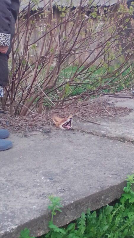 В Тверской области лисицу вызволили из бетонного плена