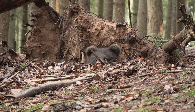 В Центре спасения медвежат-сирот рассказали, как дела у Пужи