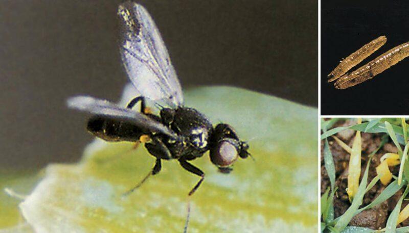 Жителей Верхневолжья предупредили об активности шведской мухи