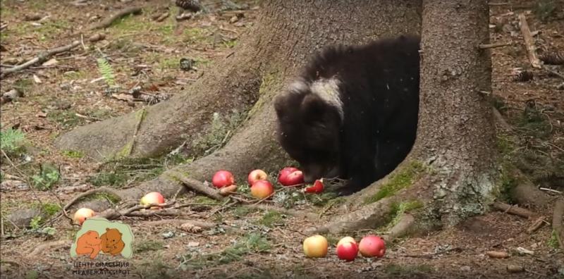 В Центре спасения медвежат-сирот рассказали, как проходят будни Пужи